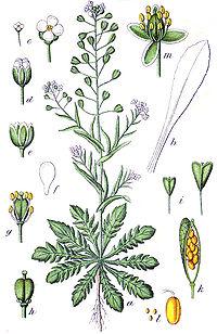 wikipedia. commons. thumb. capsella bursa pastoris sturm. jpg.
