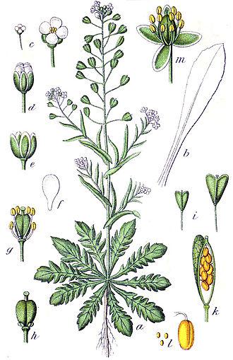 Silique - Image: Capsella bursa pastoris Sturm 23