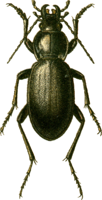 Carabus talyschensis Jacobson.png