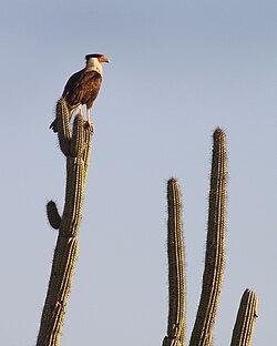 Un caracara du Nord, sur un saguaro, dans le désert de Sonora, au Mexique