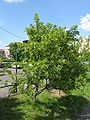 Caragana arborescens shrub.jpg