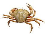 Carcinus maenas white background.jpg