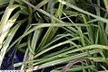 Carex elata Aurea 1zz.jpg