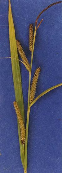 Carexamplifolia.jpg