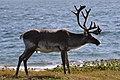 Caribou (Rangifer tarandus) - Port au Choix, Newfoundland 2019-08-19 (26).jpg