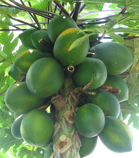 529px-Carica_papaya_-_papaya_-_var-tropi