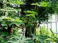 Carica papaya Liberec 1.jpg