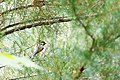 Carolina chickadee (19154746651).jpg
