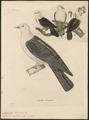 Carpophaga norfolciensis - - Print - Iconographia Zoologica - Special Collections University of Amsterdam - UBA01 IZ15600141.tif