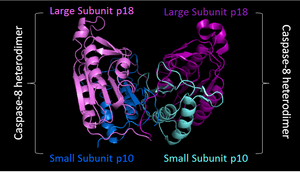 Caspase - PDB image of caspase 8 (3KJQ) in 'biological assembly'. Two shades of blue used to represent two small sunits, while two shades of purple represent two large subunits