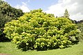 Catalpa bignonioides Aurea JPG1a.jpg