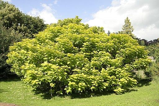 Catalpa bignonioides Aurea JPG1a