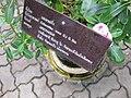 Catharanthus roseus (Gardenology.org-IMG 7927).jpg