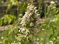 Catnip flowers.jpg