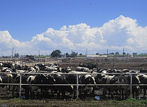 Animal husbandry - Cattle feedlot in Colorado, USA.