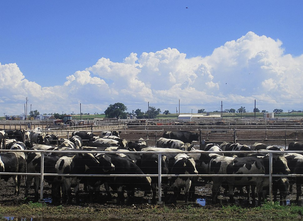 Cattle Feedlot near Rocky Ford, CO IMG 5651-2