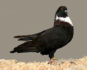 Cauchois pigeon - Black self