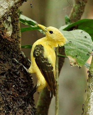 Celeus flavus - Cream-colored Woodpecker (female).JPG
