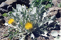 Centaurea chrysantha