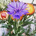 Centaurea cyanus, commonly known as cornflower or bachelor's button, is an annual flowering plant in the family Asteraceae, native to Europe.jpg