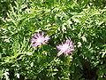 Centaurea dealbata1.jpg