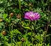 Centaurea hypoleuca 'John Coutts'. Locatie, Tuinen Mien Ruys.jpg