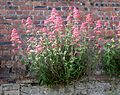 Centranthus ruber or Red Valerian on walling at at Ayr Citadel.JPG