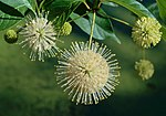 Cephalanthus occidentalis occidentalis1.jpg