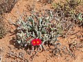 Cephalophyllum alstonii PICT2735.jpg