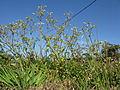 Cerastium glomeratum plant2 (12095436266).jpg