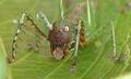 Cerberodon portokalipes female frontal.tif
