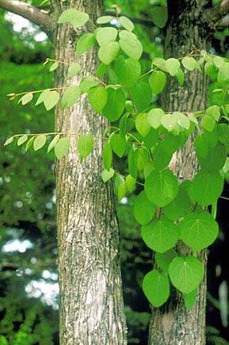 Cercidiphyllum - Katsura (C. japonicum) trunk and foliage