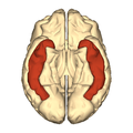Cerebrum - inferior temporal gyrus - inferior view.png