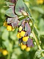 Cerinthe major (flowers).jpg