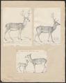 Cervus dama - 1700-1880 - Print - Iconographia Zoologica - Special Collections University of Amsterdam - UBA01 IZ21500160.tif