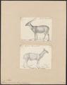 Cervus porcinus - 1700-1880 - Print - Iconographia Zoologica - Special Collections University of Amsterdam - UBA01 IZ21500344.tif