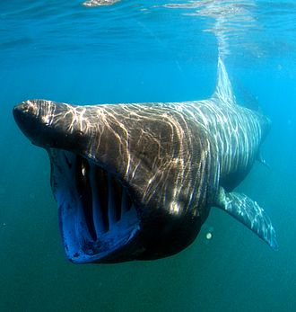 Shark liver oil - Sharks typically targeted for their liver oil include the school and gulper shark, and the basking shark (pictured).