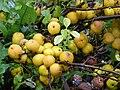 Chaenomeles japonica jaapani ebaküdoonia viljad estonia.JPG