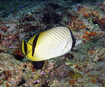 Chaetodon auriga Threadfin Butterflyfish Fiji by Nick Hobgood,.jpg