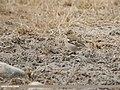 Chaffinch (Fringilla coelebs) (48051199003).jpg