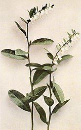 Chamaedaphne calyculata WFNY-157A.jpg