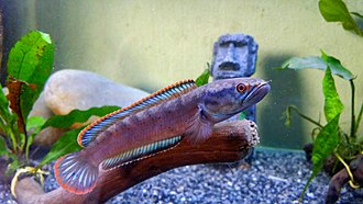 """Dwarf snakeheads - Channa sp. """"redfin"""", a dwarf snakehead that still is scientifically undescribed"""