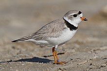 A tan bird with a black neckstripe and orange bill and legs stands on a sandy beach staring right