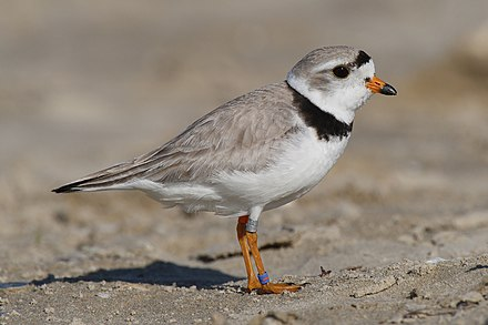 Many coastal areas in Massachusetts provide breeding areas for species such as the piping plover. Charadrius-melodus-004 edit.jpg