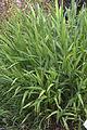 Chasmanthium latifolium GotBot 2015 001.jpg