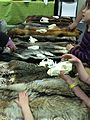 Checking out some animal furs (17224191565).jpg