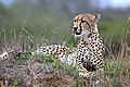 Cheetah (Acinonyx jubatus) female2 edited.jpg