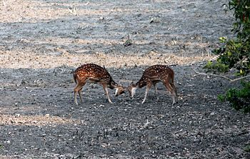 Cheetal Fighting.jpg