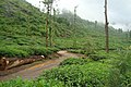Chembra Peak, Wayanad - panoramio (3).jpg