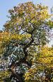Chene Fau Verzy 23 10 2011 3.jpg